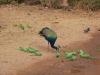 Peacock and parakeet