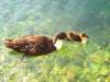 Ducks of Perge pansiyon