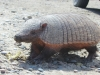 Armadillo for real!